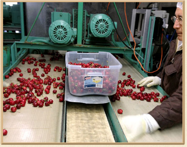 Repacking and sorting Cherries